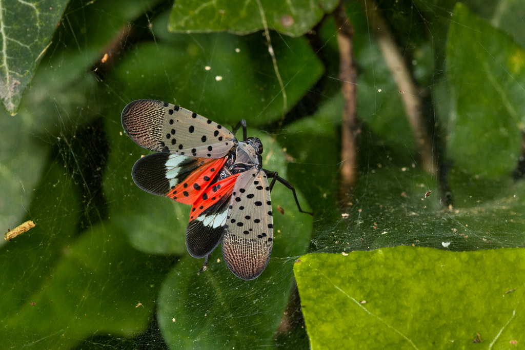 SLF-Spotted Lanternfly (Lycorma delicatula) adult winged, in Pennsylvania, on July 20, 2018. USDA-ARS Photo by Stephen Ausmus.